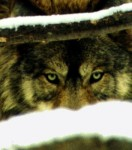 Gray-Wolf.-Courtesy-U.S.-Fish-Wildlife-Service